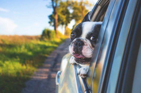 perro de raza bulldog francés asomado en la ventanilla trasera de un coche